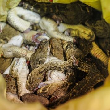 Sweetwater Rattlesnake Roundup 2015