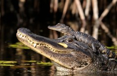 alligator-11-of-natures-greatest-animal-mothers
