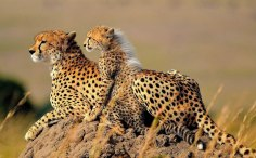 cheetah-mother-11-of-natures-greatest-animal-mothers