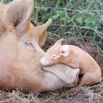 cuddling-pigs