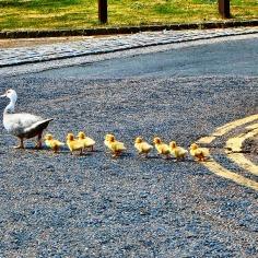 ducks-2683033_960_720