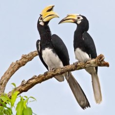 greater-hornbill-11-of-natures-greatest-animal-mothers