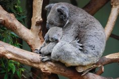 koala-11-of-natures-greatest-animal-mothers