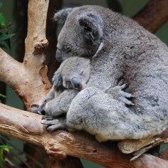 koala-11-of-natures-greatest-animal-mothers