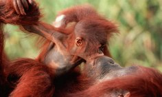 orangutan-11-of-natures-greatest-animal-mothers