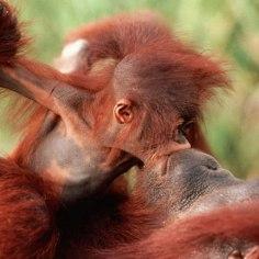 orangutan-11-of-natures-greatest-animal-mothers