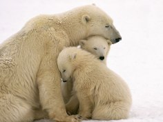 polar-bear-11-of-natures-greatest-animal-mothers