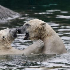 polarbearsandervanderwelflickr-600x400
