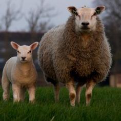 sheep-384608_960_720